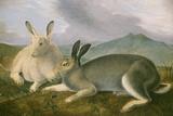 Arctic Hare  c1841