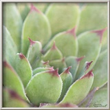Garden Succulents I Color