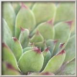 Garden Succulents I Color Reproduction encadrée par Laura Marshall