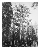 The Grizzly Giant and Mariposa Grove Reproductions de collection premium par Carleton E Watkins