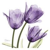 Purple Trio Tulips C54
