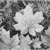 "Of Leaves From Directly Above ""In Glacier National Park"" Montana 1933-1942"
