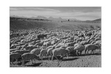 "Sheep ""Flock In Owens Valley 1941"" 1941"