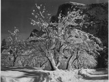 "Trees With Snow On Branches ""Half Dome Apple Orchard Yosemite"" California April 1933 1933"