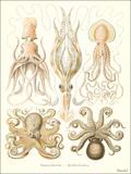 Cephalopods Reproduction d'art par Found Image Press