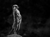 The Meerkat Reproduction d'art par 1x