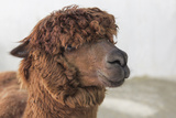 Brown Alpaca Face close Up
