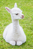 Cute Baby Alpaca