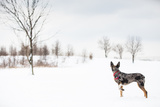 An Australian Shepherd  Cattle Dog Mix Pup Takes A Walk In The Snow