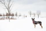 An Australian Shepherd, Cattle Dog Mix Pup Takes A Walk In The Snow Tableau sur toile par Karine Aigner