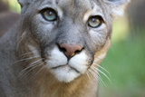 Extreme Portrait Of A Mountain Lion Cat