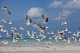 Flock Of Sea Birds  Black Skimmers & Terns  White Sand Beach  Gulf Of Mexico  Holbox Island  Mexico