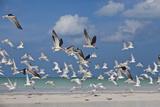 Flock Of Sea Birds, Black Skimmers & Terns, White Sand Beach, Gulf Of Mexico, Holbox Island, Mexico Tableau sur toile par Karine Aigner
