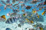 School Of Tropical Fish  Including Butterfly Fish  And Zebra Fish Along A Reef In Bora Bora