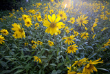 A Field Of Yellow Daisy Like Flowers Backlit By The Sun Tableau sur toile par Karine Aigner