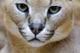 Extreme Close-Up Portrait Of A Caracal Cat Tableau sur toile par Karine Aigner