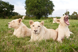 A Pride Of White Lions Sitting In The Grass With One Lioness Yawning South Africa