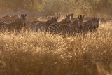 A Herd Of Zebra Stand In The Tall Grass In The Early Morning Sunshine Tableau sur toile par Karine Aigner
