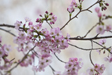 Pink Cherry Blossoms Bloom On A Tree In Washington, DC, Spring At The Peak Of Cherry Blossom Season Tableau sur toile par Karine Aigner