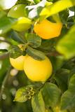 Lemon Grove II