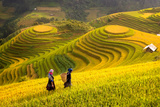 Rice Fields on Terraced of Mu Cang Chai  Yenbai  Rice Fields Prepare the Harvest at Northwest Vietn
