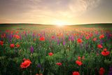Field with Grass  Violet Flowers and Red Poppies against the Sunset Sky