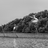 Horizontal Vivid Black and White Stork Couple Love Games on River Background Backdrop