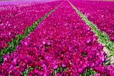 Tulip Field Red Violet