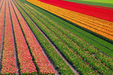Tulip Field In Orang  Red And Green