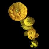 Yellow Cascade - Ranunculus