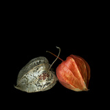 To Be And Not To Be - Physalis