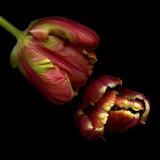 Parrot Tulips 1