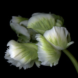 White And Green Parrot Tulip