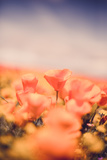 Classic Vintage Poppy Retro Design Wildflower Spring California