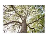 Enticing Oak