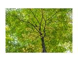 Maple Leaf Profusion