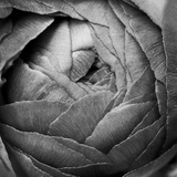 Ranunculus Abstract III BW Papier Photo par Laura Marshall
