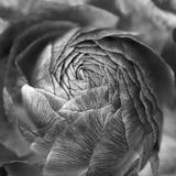 Ranunculus Abstract II BW Papier Photo par Laura Marshall
