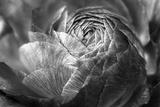 Ranunculus Abstract V BW Papier Photo par Laura Marshall