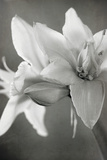 White Amaryllis II Papier Photo par Laura Marshall