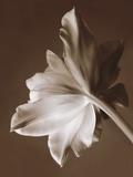 Moonglow Tulip