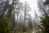 Large Trees In Sequoia National Park  California
