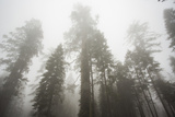 Thick Fog In The Large Trees In Sequoia National Park  California