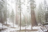 A Light Dusting Of Snow Among Large Trees In Sequoia National Park  California