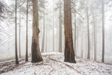 A Light Dusting Of Snow In The Large Trees In Sequoia National Park  California