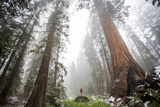 A Tourist Stands On A Rock Among Large Trees In Sequoia National Park  California