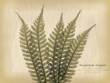 Parchment Fern 2
