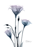 Midnight Gentian 2