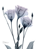Midnight Gentian 1