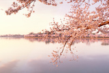Cherry blossoms at the lakeside  Washington DC  USA